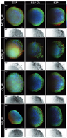 Access Highlight at ICFO: Imaging tissue mimics   with light sheet microscopy